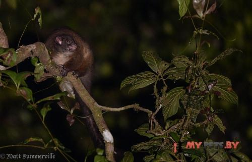 Lemur-like ringtail possum