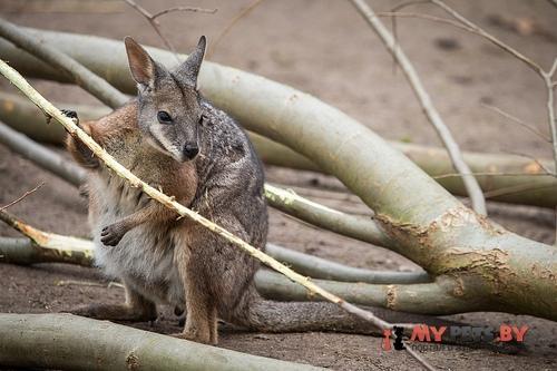кенгуру дама