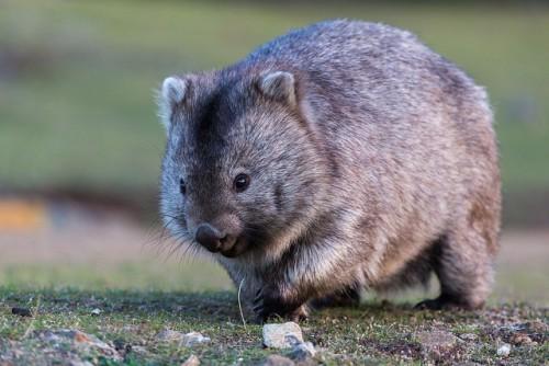 Тасманийский во́мбат