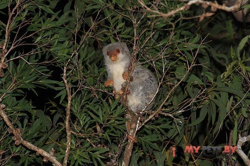 Spilocuscus maculatus