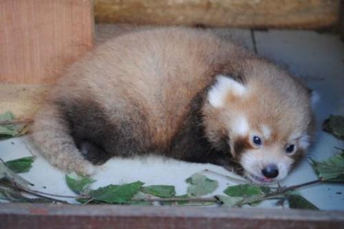 1442518153_adorable-baby-panda