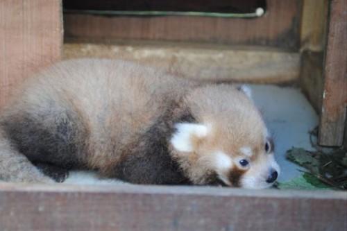 1442518193_baby-red-panda