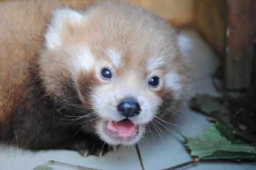 1442518221_red-panda-born-at-newquay-zoo