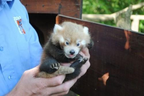 1442518241_baby-panda
