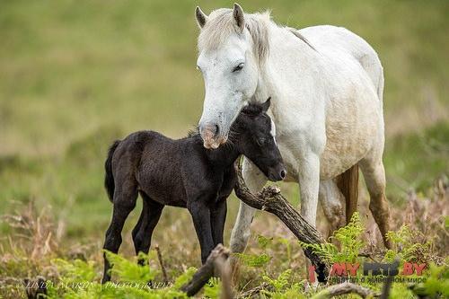 Equus ferus