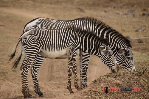 Пустынная зебра