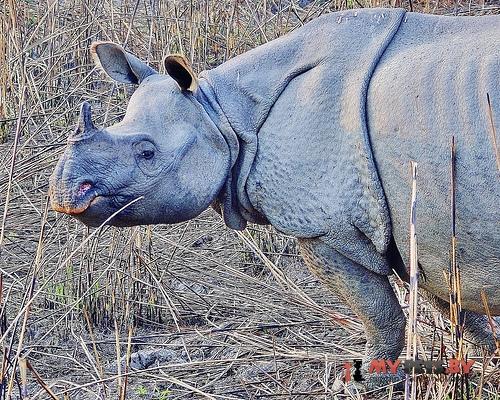 Rhinoceros sondaicus