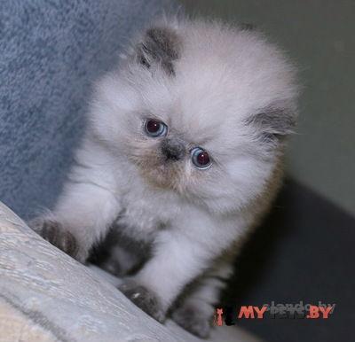 malenkie-persy-ekstremaly_39511576_1_F