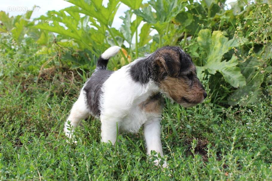 animals-dogs-fox-terrier-wire-43598.800
