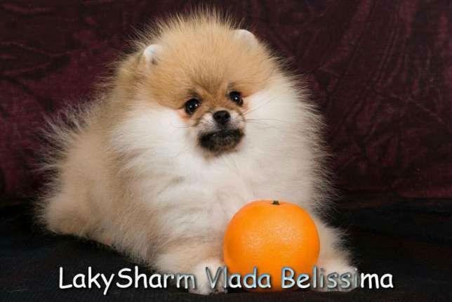 69541231_4_644x461_laki-sharm-vlada-belissima-pomeranskiy-karlikovyy-shpits-zhivotnye