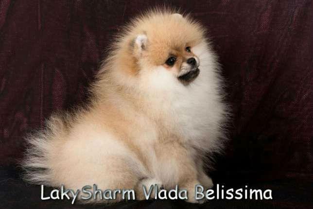 69541231_5_644x461_laki-sharm-vlada-belissima-pomeranskiy-karlikovyy-shpits-minskaya-oblast