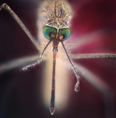 Комар и его удивительные глаза