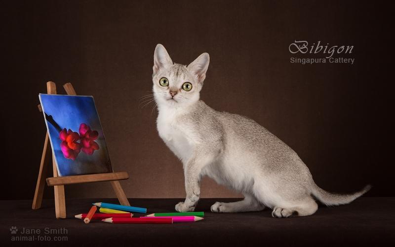 Котик породы Сингапура из питомника Бибигон