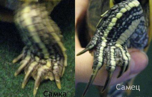 Определение пола черепахи по когтям