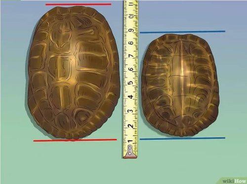 Определение пола черепахи по длине панциря