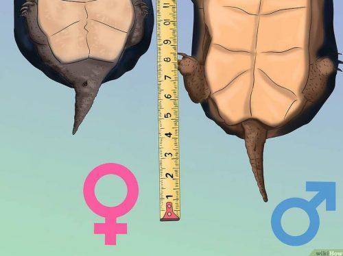 Определение пола черепахи по длине хвоста