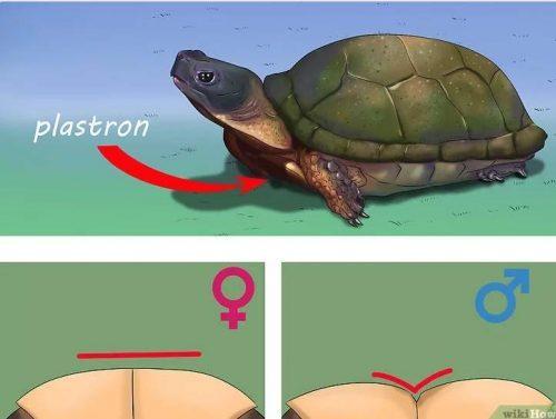 Определение пола черепахи по пластрону