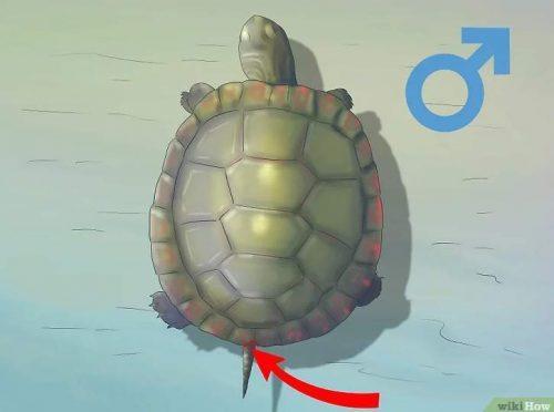 Определение пола черепахи по выемке у хвоста