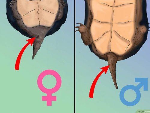Определение пола черепахи по клоаке