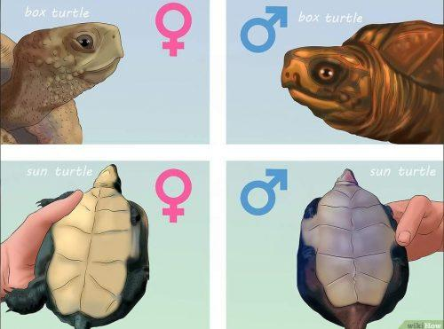Определение пола черепахи по видовым особенностям