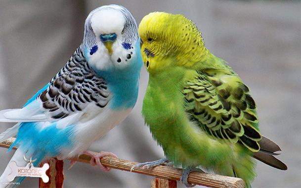 Смотреть волнистые попугайчики видео
