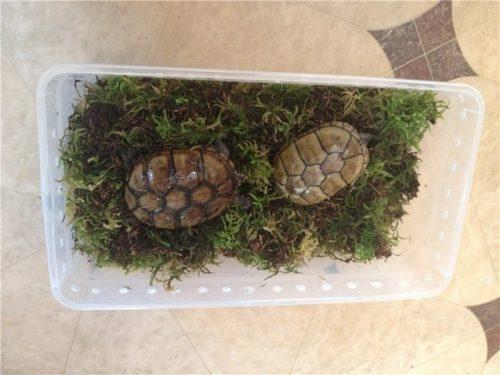 Спячка черепах