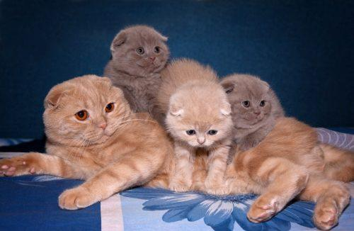 Как выбрать шотландского вислоухого котенка?
