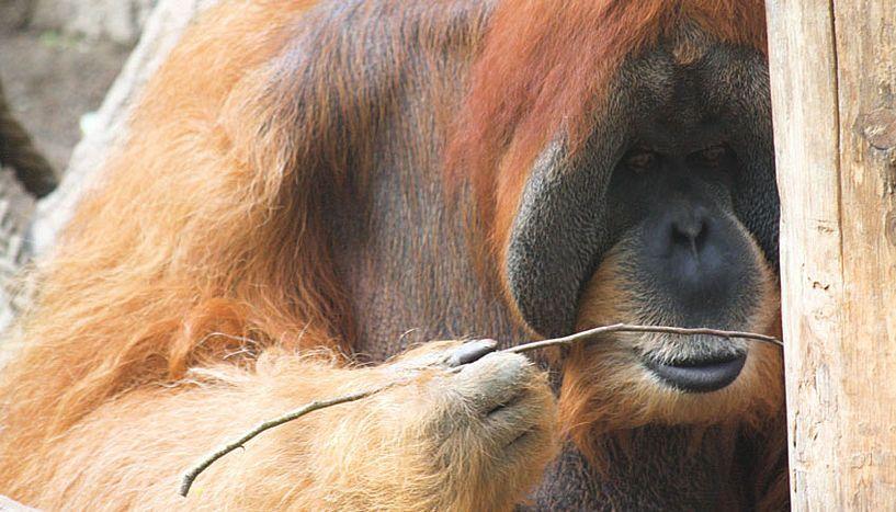 Орангутаны смогли изобрести крючок